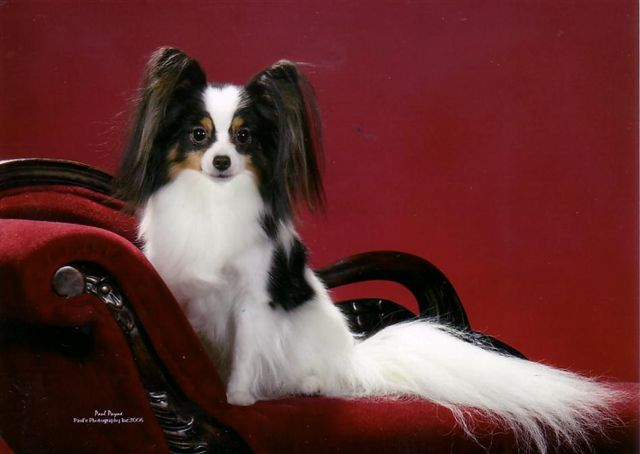 Indiana Breeder of Papillon Dogs View Our Champion ...